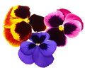 Pansies Stock Photos