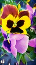 Pansies beautiful flowers Royalty Free Stock Images