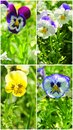 Pansies in bloom collage various types of pansie flowers Royalty Free Stock Photos