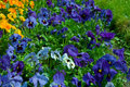 Pansies blue blooming pansy flowers background Stock Photo