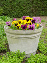 Pansies in a bucket pansy flowers surrounded by green Royalty Free Stock Photo