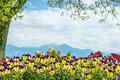 Pansies chiemsee alps at the in the background with bright sun Stock Photo