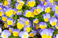 Pansies colorful blue and yellow pansy flowers nature background Stock Images
