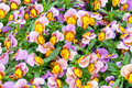 Pansies colorful violet and yellow pansy flowers nature background Stock Photography