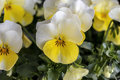 Pansies with extreme shallow depth of field nature Royalty Free Stock Photos