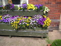 Pansies in flower boxes Royalty Free Stock Photo