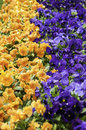 Pansies in a flowerbed orange and blue Royalty Free Stock Photo