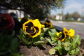 Pansies flowering yellow in the garden Royalty Free Stock Images
