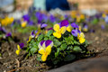 Pansies like decoration in a garden Stock Photo
