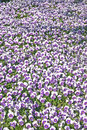 Pansies a lot of white and purples Stock Image