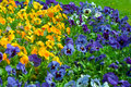 Pansies multicolored blooming pansy flowers background Stock Photo