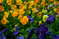 Pansies multicolored blooming pansy flowers background Royalty Free Stock Photography