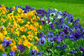 Pansies multicolored blooming pansy flowers background Stock Images