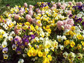 Pansies natural fresh Royalty Free Stock Photo