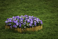 Pansies a pile of in the middle of green grasses Royalty Free Stock Photo