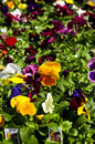 Pansies for sale Royalty Free Stock Photography