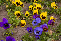 Pansies spring blooming in growing bed Royalty Free Stock Image