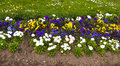 Pansies spring flowers and in growing bed Royalty Free Stock Image