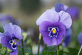 Pansies, viola delicate, Royalty Free Stock Photo