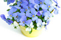 Pansies violets flowers it is isolated on a white background Royalty Free Stock Photos