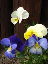 Pansies yellow and blue in the garden with wooden fence background Royalty Free Stock Photo