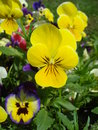 Pansies yellow and violet in the garden in spring Royalty Free Stock Photography