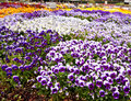 Pansy Beds Royalty Free Stock Photography