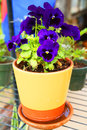 Pansy blooming in a ceramic pot Stock Image