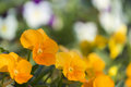 Pansy blooming yellow delicate petals arranged together just like laughing faces Royalty Free Stock Photos