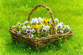 Pansy bunch of flowers in the basket among the grass Stock Photos