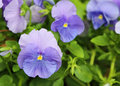 Pansy flower in blue close up image with natural bridge southern utah Stock Photography