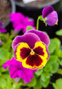 Pansy this is a flower in the garden Royalty Free Stock Image