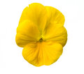 Pansy flower isolated on the white background Stock Photos