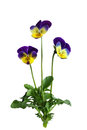 Pansy flower plant single isolated on white background Stock Photography
