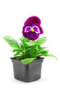 Pansy flower violet in pot Royalty Free Stock Images