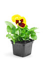 Pansy flower yellow in pot Royalty Free Stock Photo