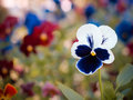 Pansy Flowerhead