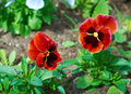 Pansy flowers close up plant Royalty Free Stock Photos