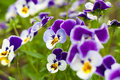 Pansy flowers on flower bed in the garden Royalty Free Stock Photos
