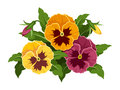 Pansy flowers illustration of purple orange and yellow buds and green leaves isolated on a white background Stock Image