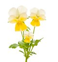 Pansy flowers isolated on white Stock Images