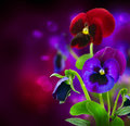 Pansy Flowers over Black Royalty Free Stock Photo