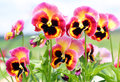 Pansy flowers pink yellow black closeup and with in the middle in garden Royalty Free Stock Photo