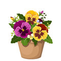 Pansy flowers in a pot yellow and purple and green leaves clay Stock Images