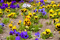 Pansy flowers spring blooming pansies in growing bed Stock Photos