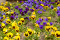 Pansy flowers spring blooming pansies in growing bed Stock Photo