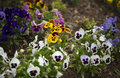 Pansy flowers summer gardens colourful garden plans sessional Stock Images