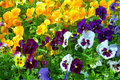Pansy garden blue blooming flowers in growing bed Royalty Free Stock Image
