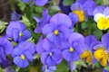 Pansy mix colorful flowers in garden on daytime Royalty Free Stock Photo
