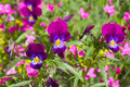 Pansy and other flowers growing in june Stock Photos